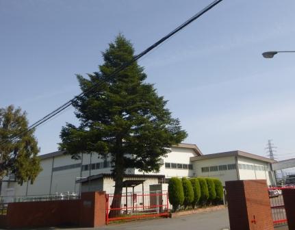 01 モミの木